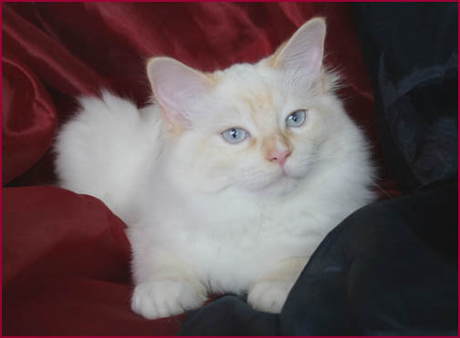 Red Point Ragdoll Red Point Mitted Radgoll Male